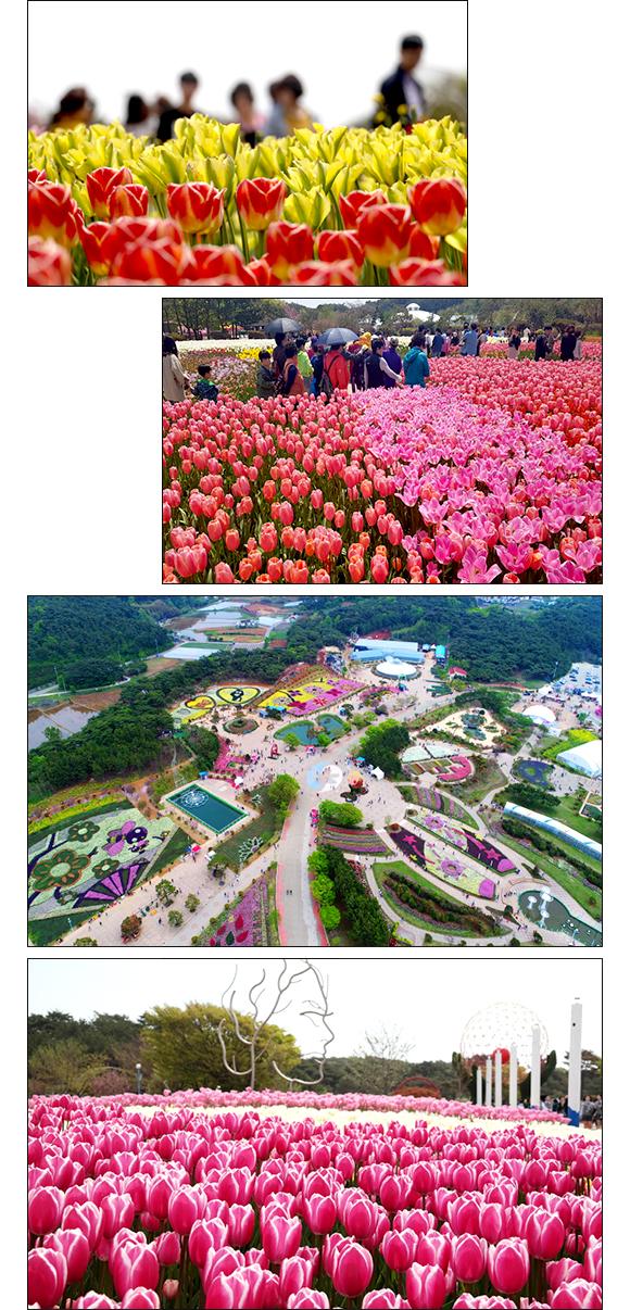 다채로운 컬러의 튤립 풍경들